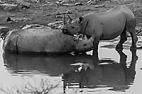 Spitzmaulnashorn-Namibia