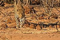 Leo auf Beute suche- Namibia