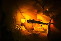Feuersalamanderlarve_1