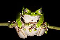 Grumpy Frog_1