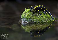 Salamander_4