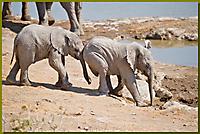 verspielte Elefanten