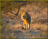 Löwe beim Frühstück