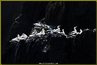 Baßtölpel auf Felsklippe