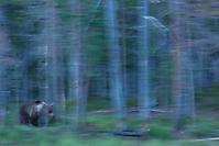 Bear in Motion