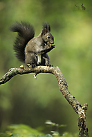 Eichhörnchen - Red Squirrel_1