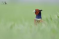 Fasan - Pheasant_1