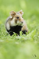 Feldhamster - Common Hamster_1