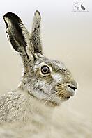 Feldhase - Hare_1