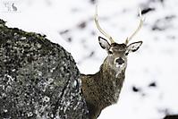 Rothirsch - Red Deer_1
