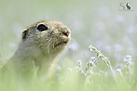 Ziesel - Ground Squirrel_1