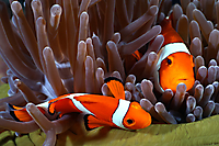 Amphiprion ocellaris (False Clown Anemonefish)_1