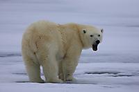 Eisbär #2