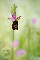 Ophrys bertolonii / Bertolonis Ragwurz