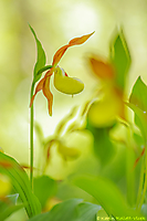 Cypripedium calceolus / Goldener Frauenschuh