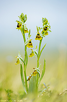 Ophrys holoserica hypochrome