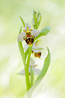 Ophrys x albertiana / Ophrys apifera x Ophrys holoserica
