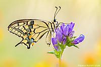 Schwalbenschwanz/ Papilio machaon