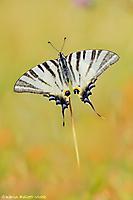 Segelfalter/ Iphiclides podalirius