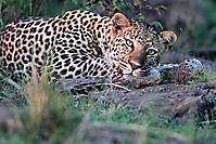 Leopard chilling_1