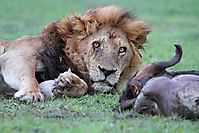 Lion in front of a killed wildebeest_1