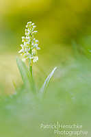Orchis pallens_1