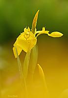 Gelbe Sumpfschwertlilie_2