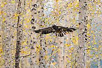 Adler im Herbstwald