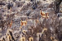 Guanakos in der Küstenwüste nahe Punta de Choros
